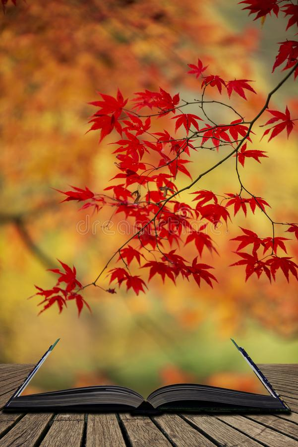 Beautiful colorful vibrant red and yellow Japanese Maple trees in Autumn Fall forest woodland landscape detail in English. Stunning colorful vibrant red and stock image