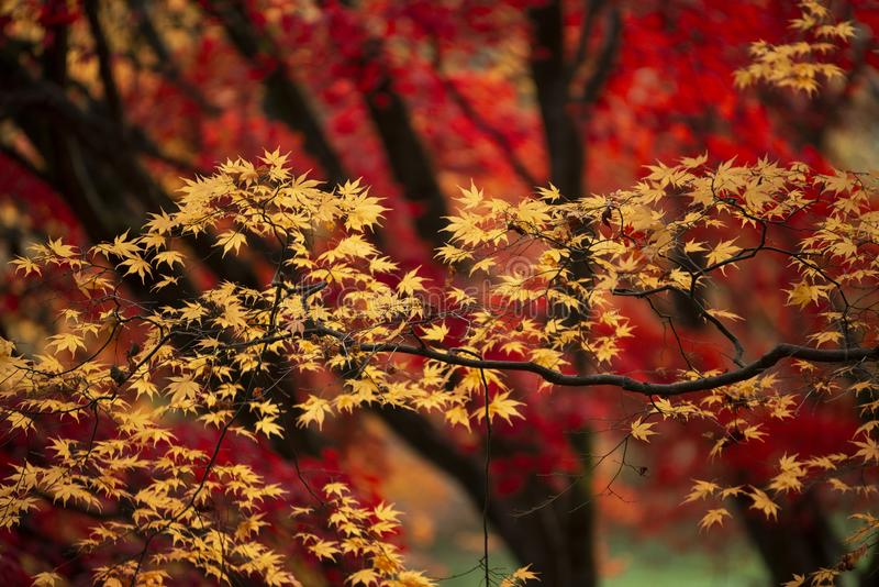 Beautiful colorful vibrant red and yellow Japanese Maple trees in Autumn Fall forest woodland landscape detail in English royalty free stock images