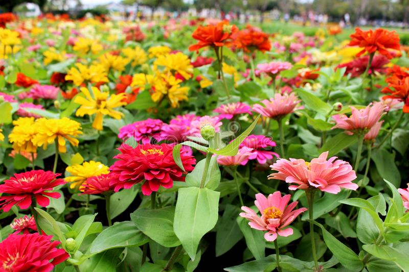Beautiful Colorful Zinnia Elegans Flowers on wonderful flowers background in the garden for Background stock photography