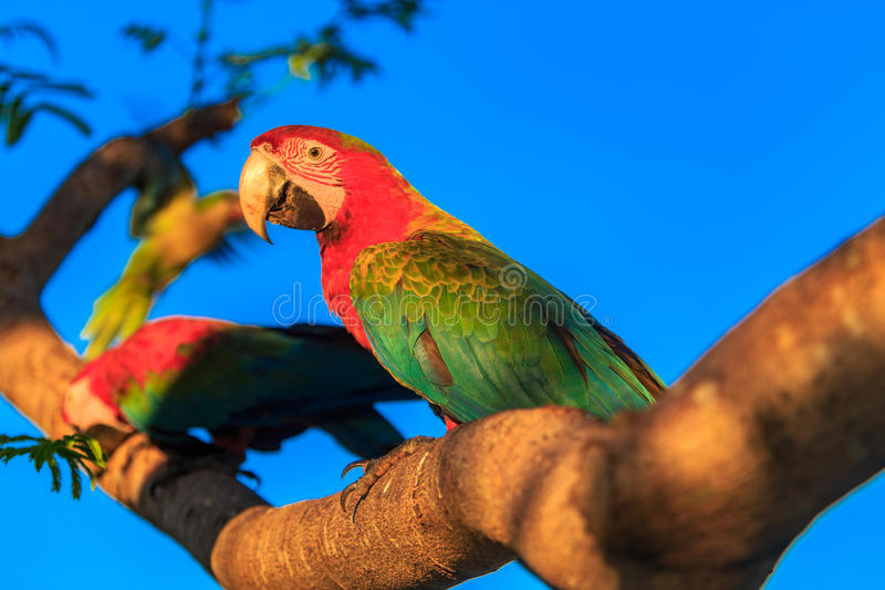 Beautiful and colorfull scarlet macaw parrot under a blue sky. stock photography