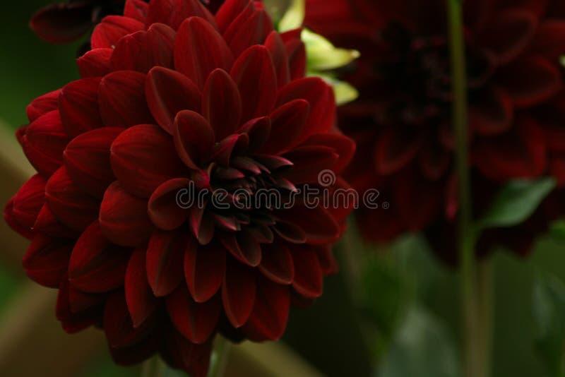 Download Flowers In Gardens Dahlia Arabian Night Stock Image