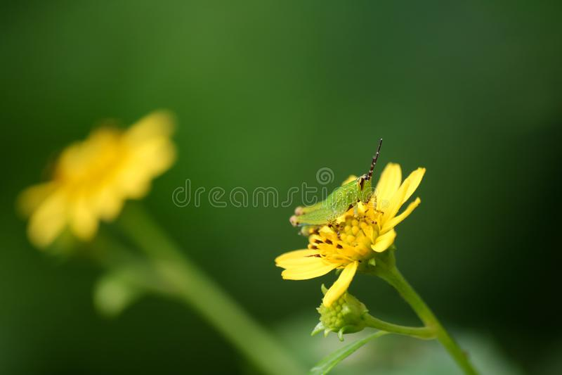 Beautiful colors of Green grasshopper on a yellow flower. With nature background stock photography