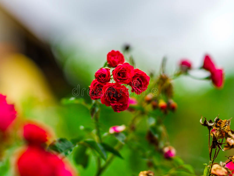 Beautiful colors of roses in the garden, summer day royalty free stock photos