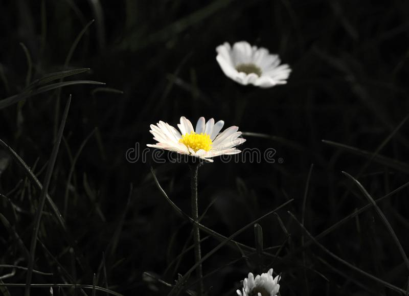 A beautiful colour bloom of daisy on black and white background to enhance the flower on photo stock photography