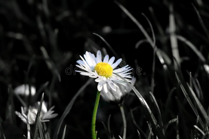 A beautiful colour solo daisy in the middle of grassland when bloom and stem is in colour and rest of the picture is in black and royalty free stock image