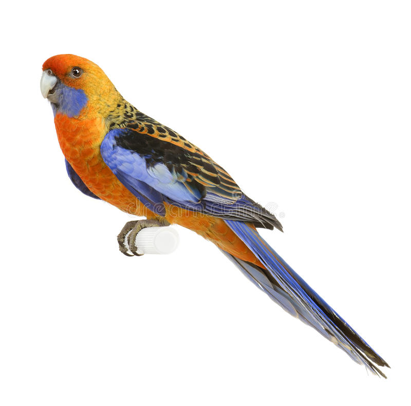 Beautiful coloured parrot stock image