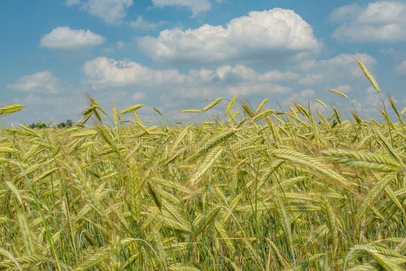 Beautiful colourful agriculture wheat field under the blue cloudy sky during summer season royalty free stock photos