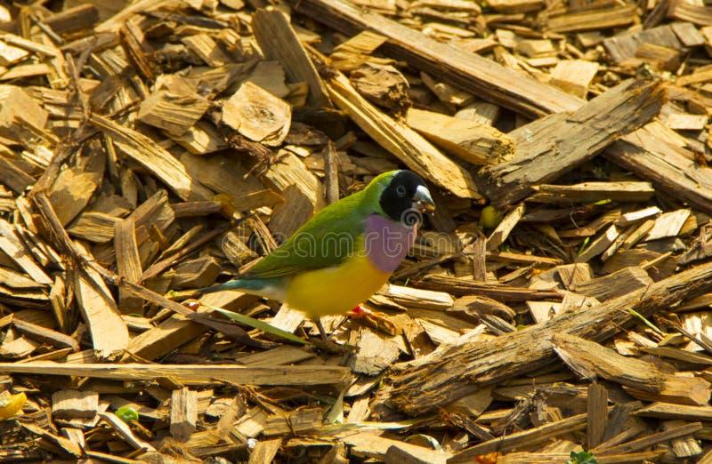 Beautiful Colourful Bird royalty free stock photo