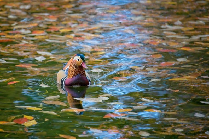 Mandarin duck in Autumn royalty free stock photos