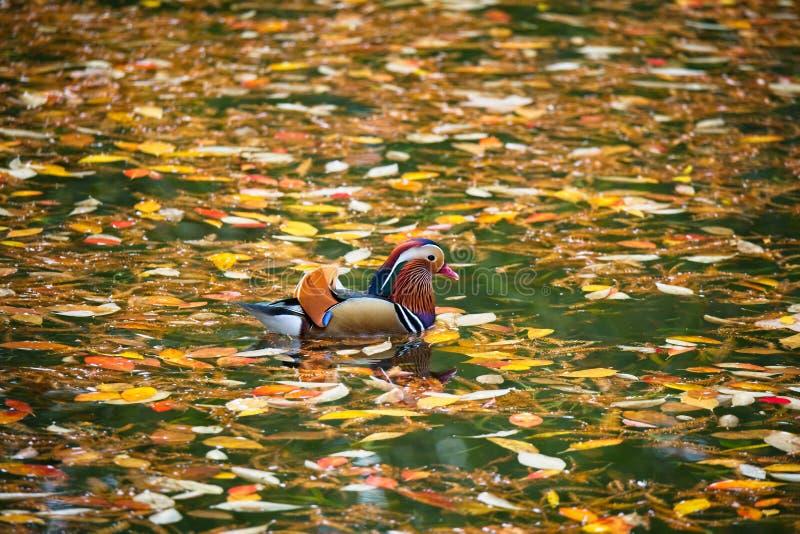 Mandarin duck in Autumn royalty free stock photography