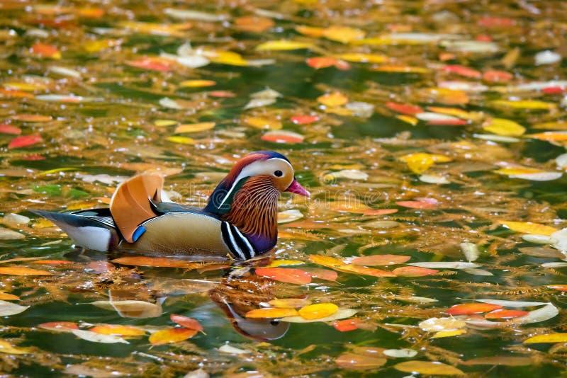 Mandarin duck in Autumn stock photo