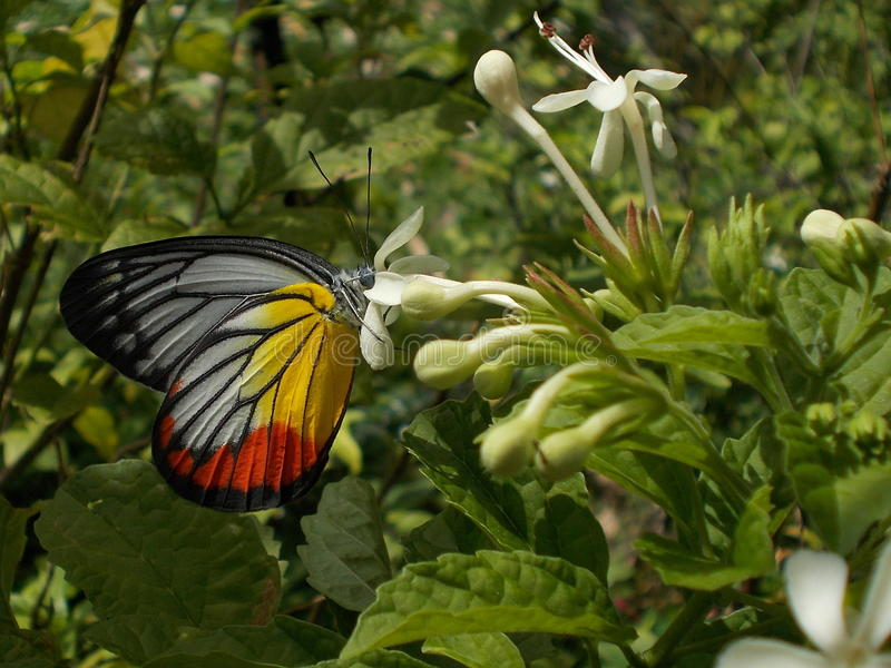 Beautiful And Colourful Painted Jezebel. A closeup picture of the Painted Jezebel butterfly feeding from a flower stock photography