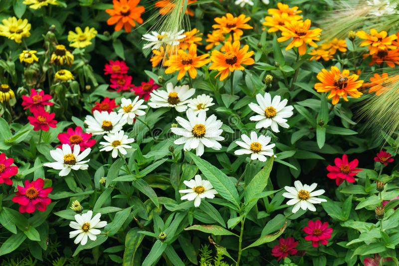 Beautiful colourful zinnia flowers and wheat in garden stock photography