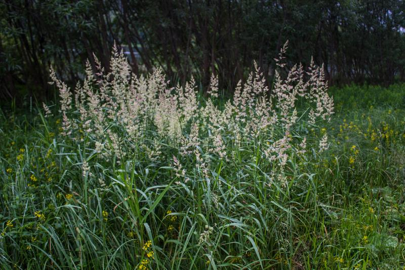 A beautiful combination of spikelets about the surrounding grass. Near the forest stock photography