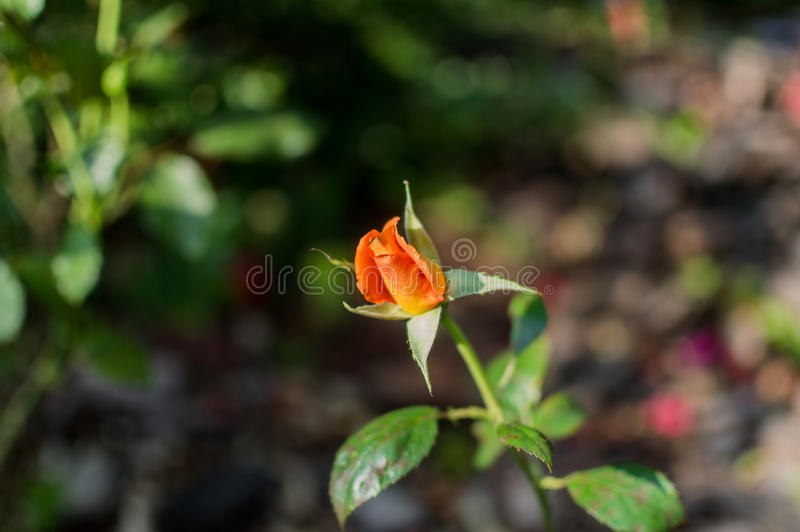 Beautiful come into bloom red orange rose in rose garden.  royalty free stock photo