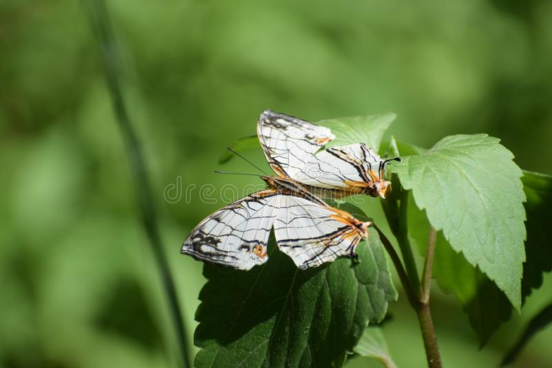 Beautiful common map cyrestis thyodamas butterfly. Cyrestis thyodamas, the common map, is a species of nymphalid butterfly found in the Indian Subcontinent and stock photography