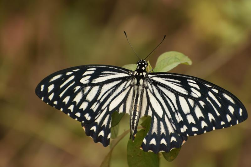 Beautiful common mime papilio clytia butterfly. stock image