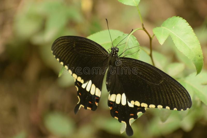 Beautiful  common mormon male  papilio polytes  butterfly. Papilio polytes, the common Mormon,[1][2] is a common species of swallowtail butterfly widely royalty free stock photography