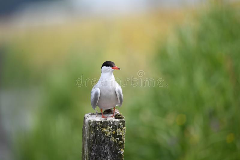 Beautiful common tern sitting on a pole royalty free stock photos
