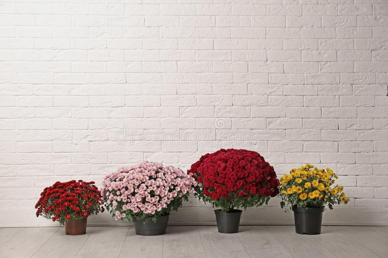 Beautiful composition with chrysanthemum flowers near white brick wall. Space for text stock image