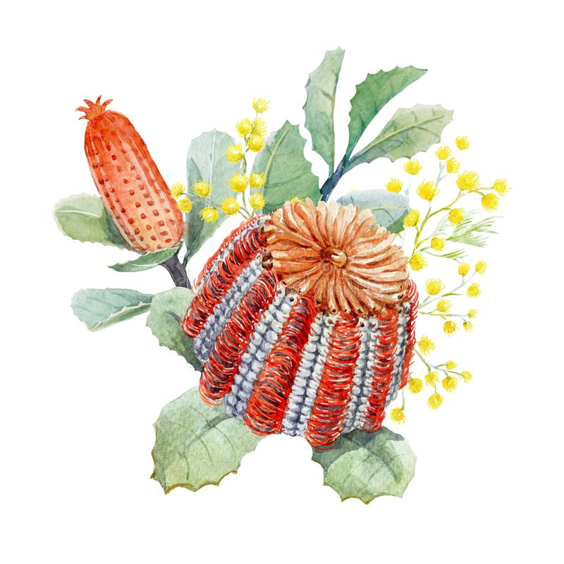Watercolor australian banksia floral composition stock illustration