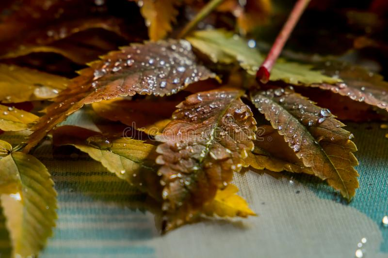 Beautiful composition of wet leaves of Rowan and fresh apples royalty free stock photo