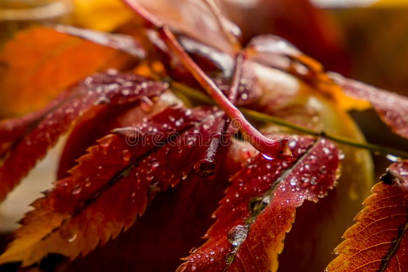 Beautiful composition of wet leaves of Rowan and fresh apples royalty free stock photography