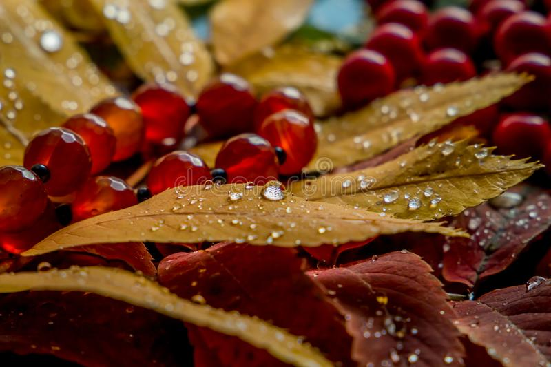 Beautiful composition of wet mountain ash leaves stock photography