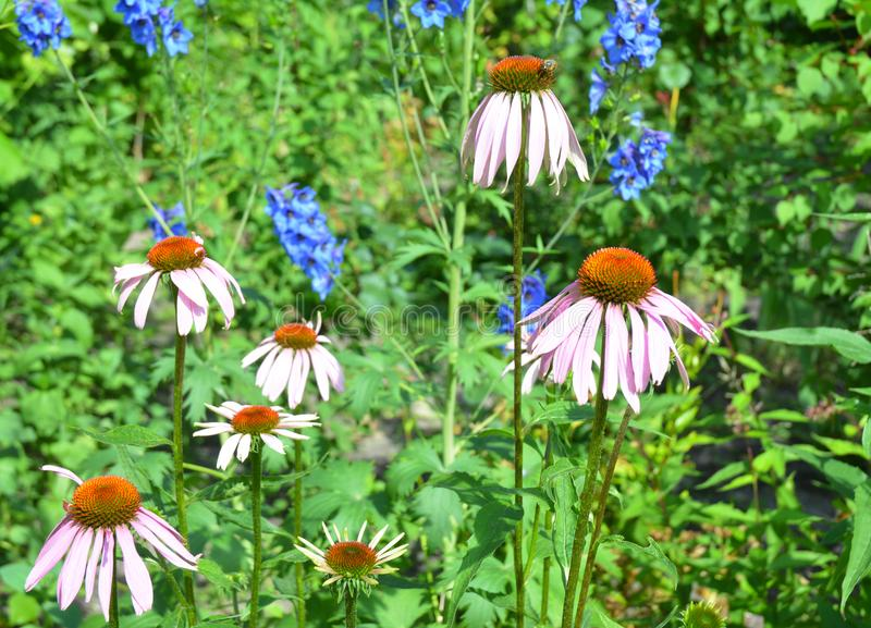 Beautiful coneflower or purple echinacea on summer bee-friendly flower bed. royalty free stock image