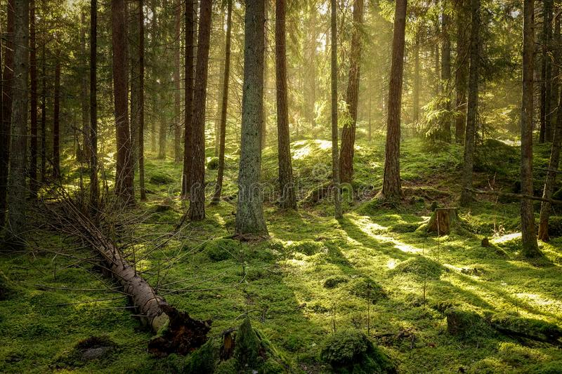 Beautiful coniferous forest in golden sunset. royalty free stock photography