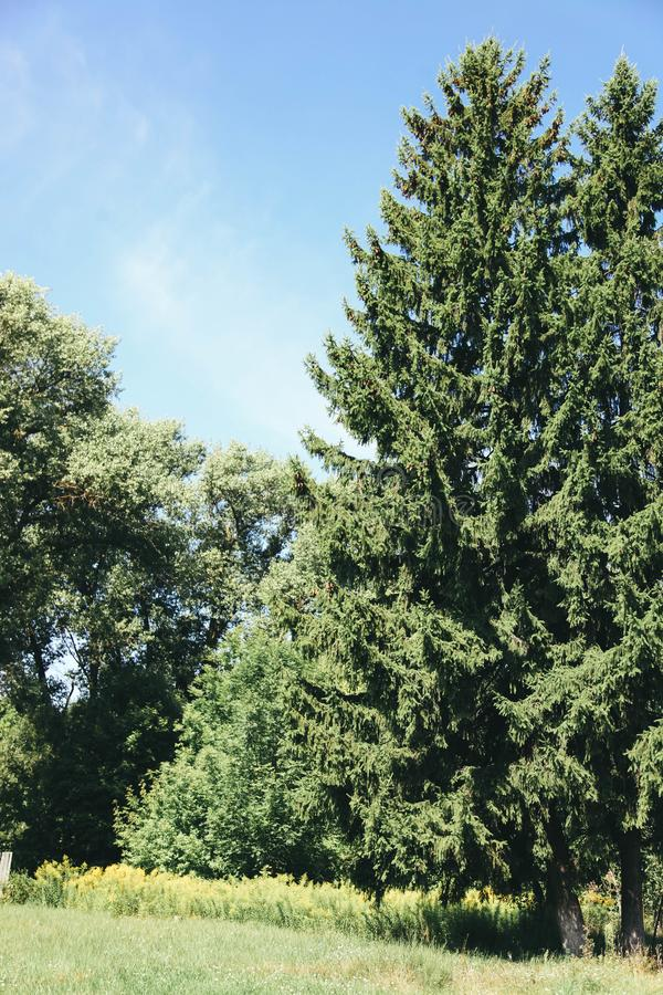 Beautiful conifers trees. On sunny summer day. Concept  nature stock photography