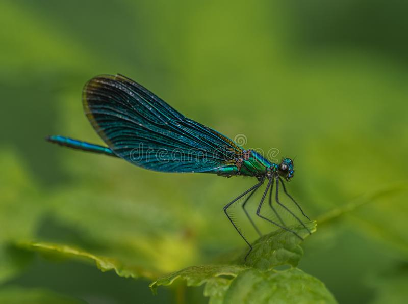 Insect dragonfly green damsel resting on a green feve on a green background stock image