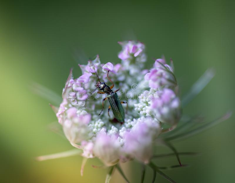Insect alone green oedemere planted on a plant in summer by the side of road in close up stock photography