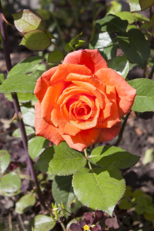 A beautiful coral-colored rose flower lit by the sun. Summer day, green leaves. Vertical photo stock photography