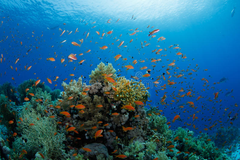 Beautiful coral reef with anthias. In the red sea stock photo
