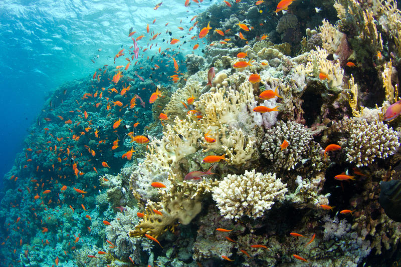 Download Beautiful Coral Reef With Anthias Stock Image - Image of scuba, underwater: 20622947