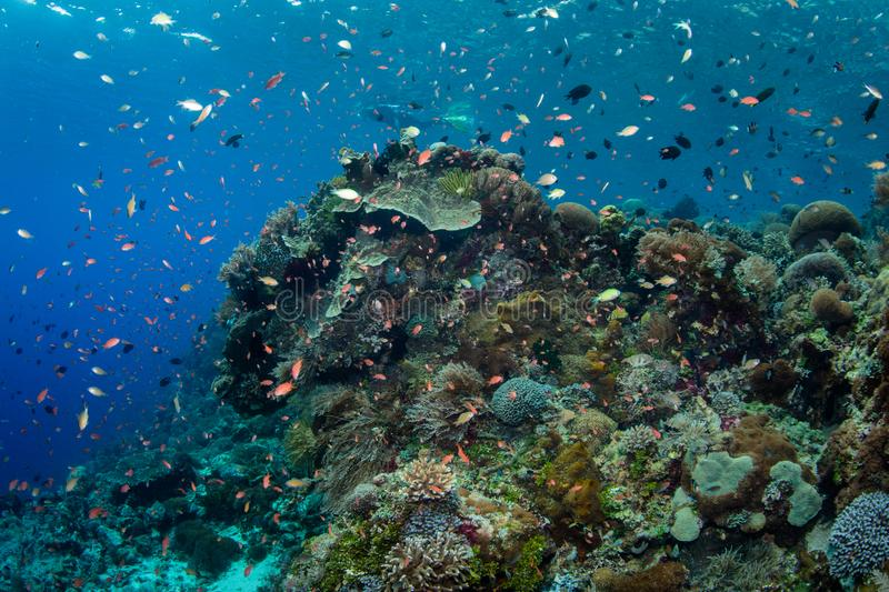 Beautiful Coral Reef in the Coral Triangle royalty free stock images