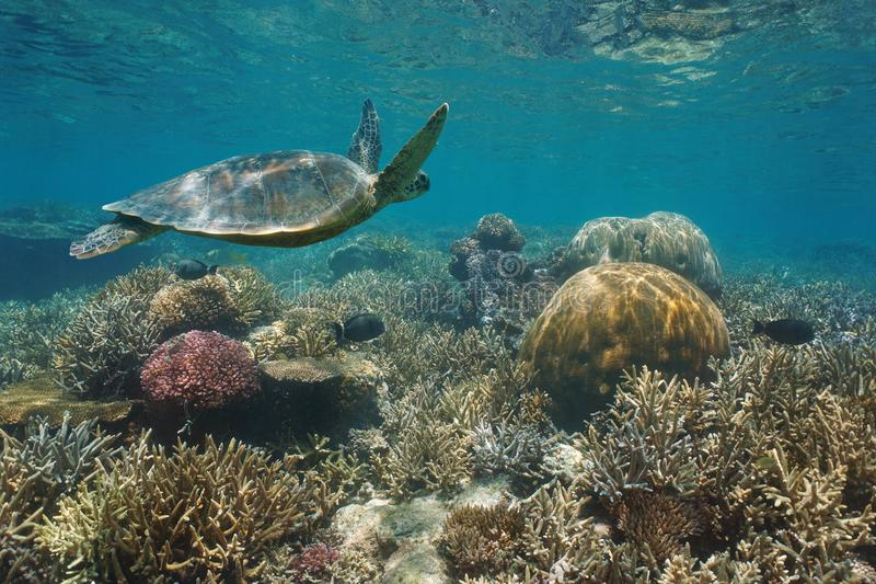 Beautiful coral reef sea turtle underwater Pacific stock image