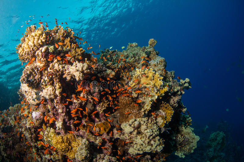 Beautiful coral reef with sealife royalty free stock image