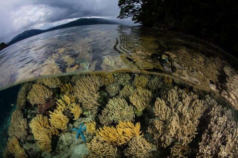 Beautiful Coral Reef in Shallows of Raja Ampat. A shallow, healthy coral reef thrives near limestone islands in Raja Ampat, Indonesia. This tropical region is royalty free stock photo