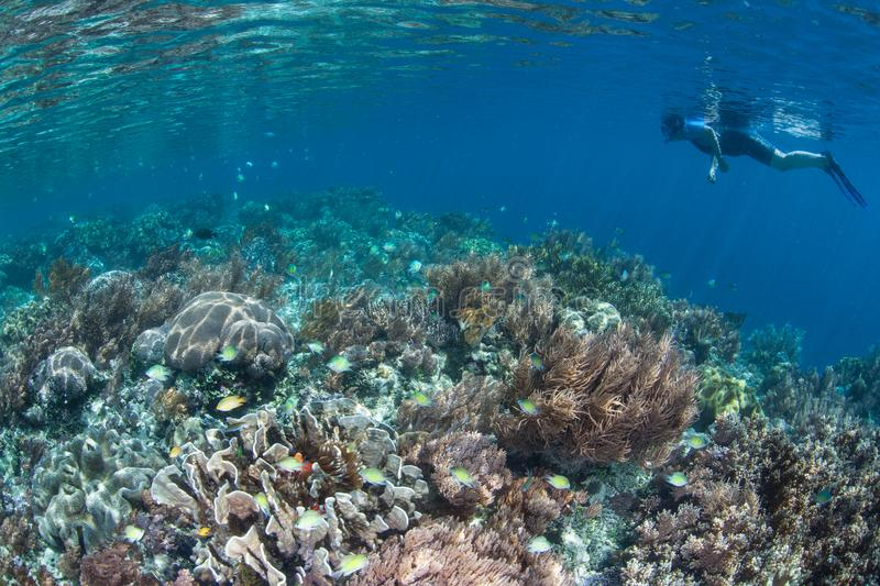 Beautiful Coral Reef and Snorkeler in Raja Ampat. A snorkeler explores a beautiful coral reef in Raja Ampat, Indonesia. This remote, tropical region is known as royalty free stock image