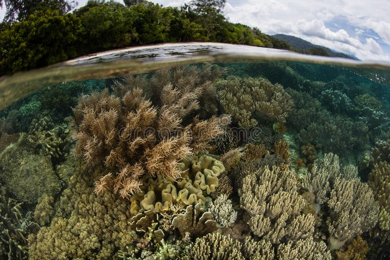 Beautiful Corals in the Shallows of Raja Ampat. Corals thrive in the shallows next to an island in Raja Ampat, Indonesia. This remote, tropical region is known stock images