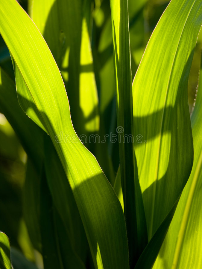 Beautiful corn leaves stock photography