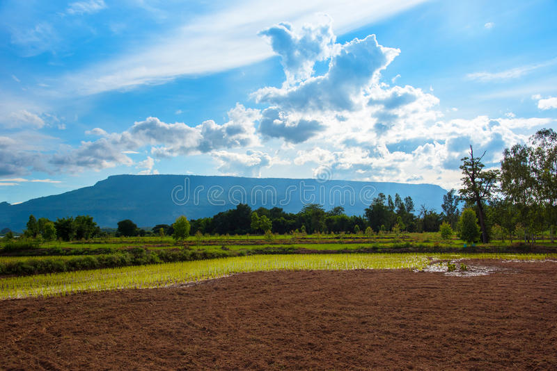 Beautiful cornfield rice Mountain royalty free stock photo