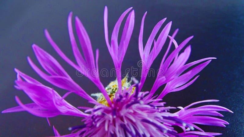 Beautiful flower, cornflower. Beautiful cornflower flower on black background stock image
