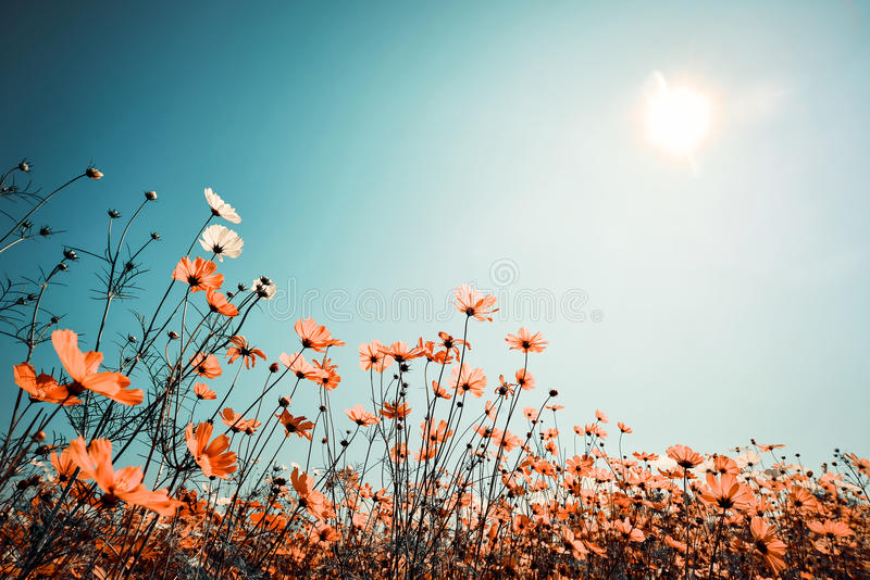 Beautiful cosmos flower field on sky with sunlight in spring royalty free stock photo