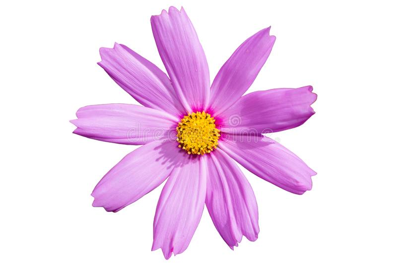 Beautiful Cosmos Flower isolated on white background stock image
