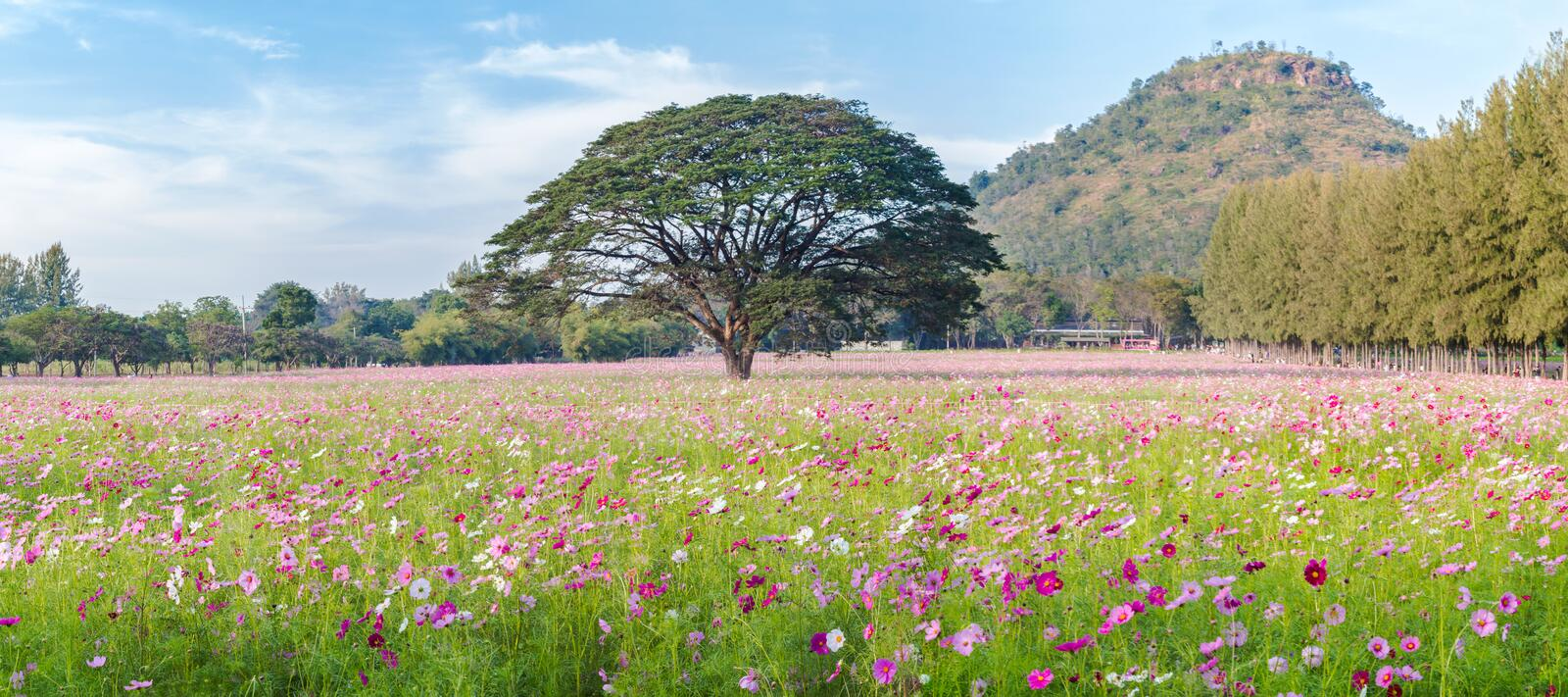 Beautiful Cosmos flowers field and tree with mountain and blue sky, Landscape photo stock photo