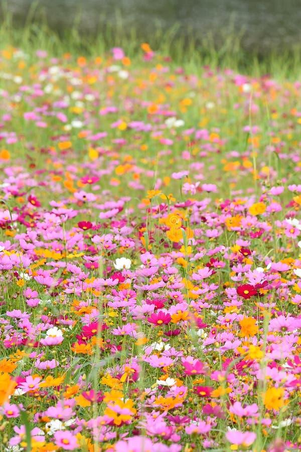 Beautiful cosmos flowers. In the garden stock photos