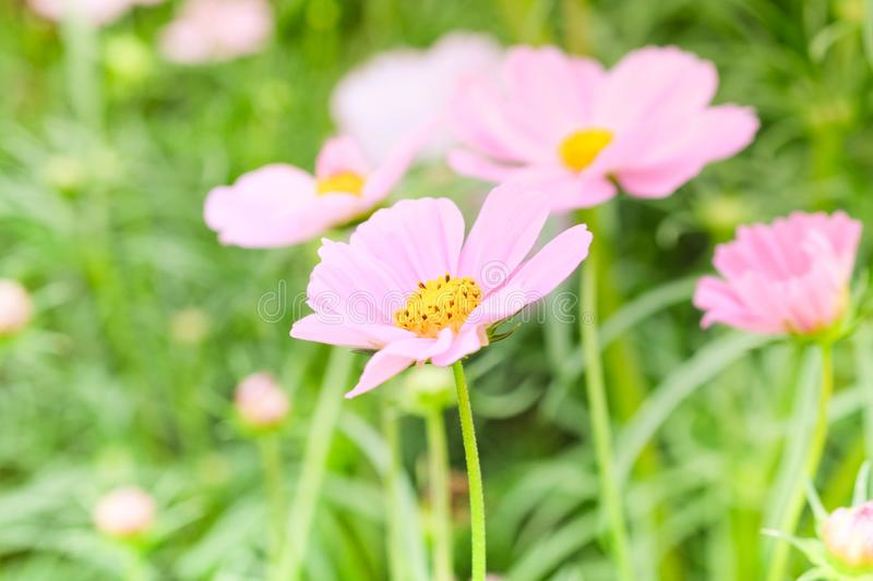 The beautiful cosmos flowers in the garden with the sunny day using as nature background and wallpaper royalty free stock photos